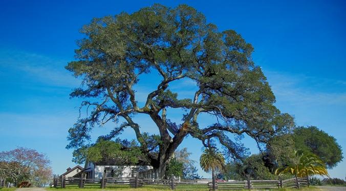 jacks-oak